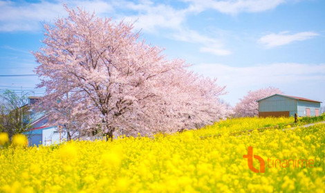 Mùa Xuân Nhật Bản không chỉ có hoa anh đào!